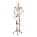 Skelett Modelle