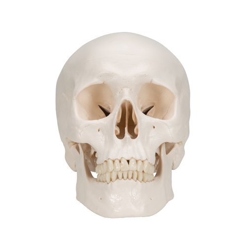 Skull Model, 3 part - 3B Smart Anatomy