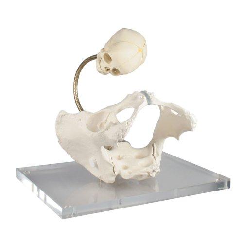 Becken-Modell zur Demonstration des Geburtsweges