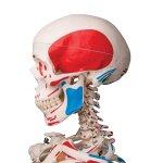 "Skelett-Modell ""Max"" mit Muskelbemahlung - 3B Smart Anatomy"