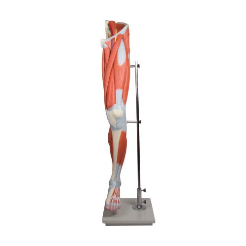 Beinmuskulatur-Modell, 13-tlg