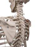 """Skelett-Modell """"Leo"""" mit Gelenkbändern - 3B Smart Anatomy"""