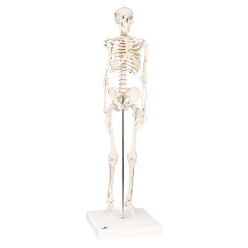 "Mini Skelett-Modell ""Shorty"" - 3B Smart Anatomy"