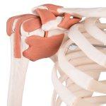 "Skelett-Modell ""Sam"", flexibel mit Muskelbemahlung & Gelenkbänder - 3B Smart Anatomy"