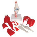 Knee Joint Model with Removable Muscles, 12 part - 3B Smart Anatomy