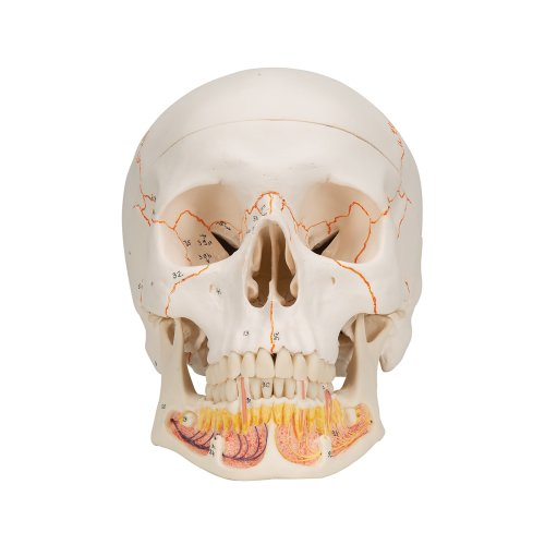 Skull Model with Opened Lower Jaw, 3 part - 3B Smart Anatomy