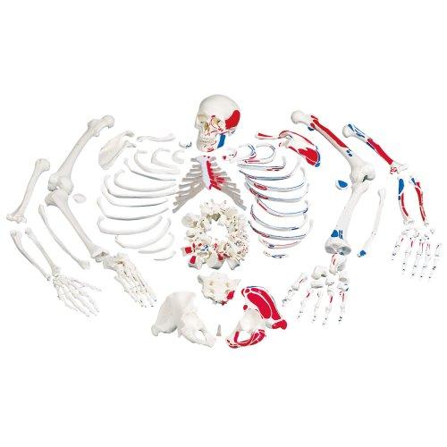 Skelett-Modell mit Muskeldarstellung, unmontiert - 3B Smart Anatomy