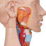 Torso-Modell, zweigeschlechtig, 24-tlg - 3B Smart Anatomy