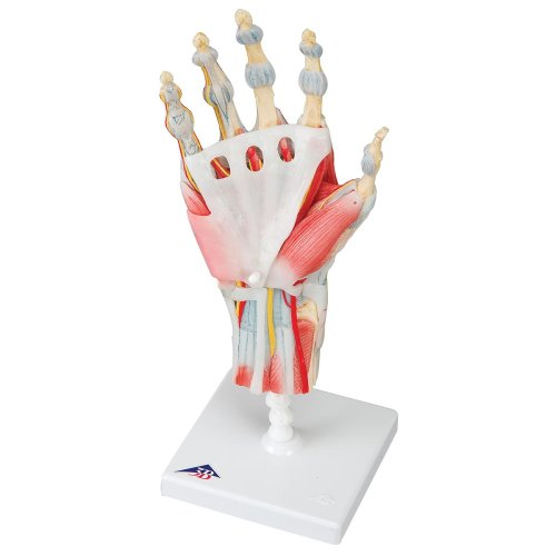 Hand Skeleton Model with Ligaments & Muscles - 3B Smart Anatomy