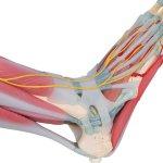 Fußskelett-Modell mit Bändern & Muskeln - 3B Smart Anatomy