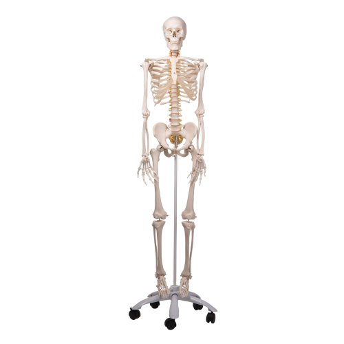 Skelett-Modell Fred, flexibel - 3B Smart Anatomy