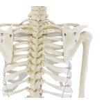 "Skeleton model ""Willi"""