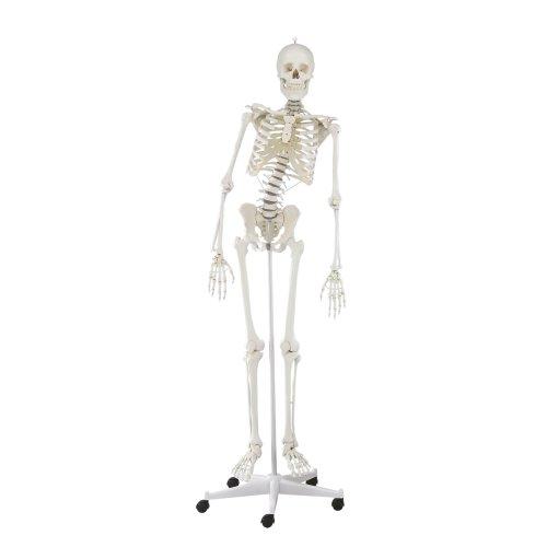 """Skelett-Modell """"Hugo"""" mit beweglicher Wirbelsäule"""