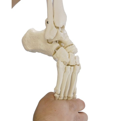 Foot skeleton model with tibia and fibula insertion, flexible