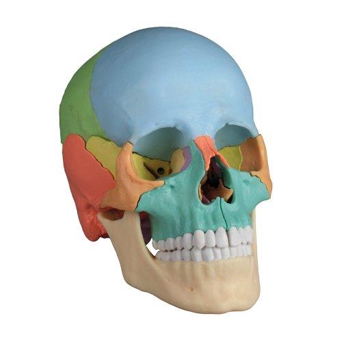 Osteopathie-Schädel-Modell, 22-tlg, didaktische Ausführung
