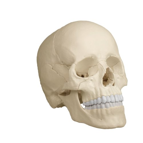 Osteopathie-Schädel-Modell, 22-tlg, anatomische Ausführung