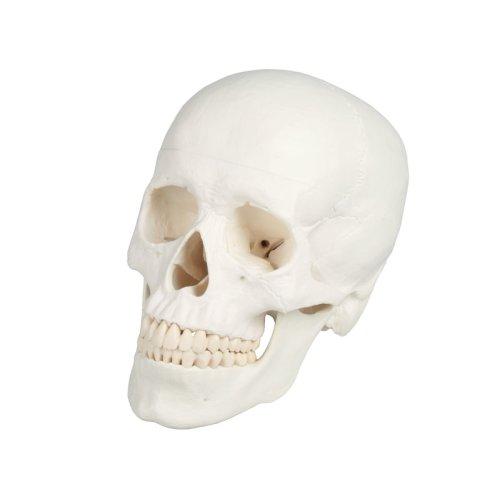 Skull model, 3 parts