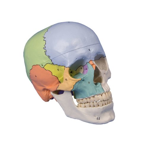 Skull model, 3 parts, didactical painted