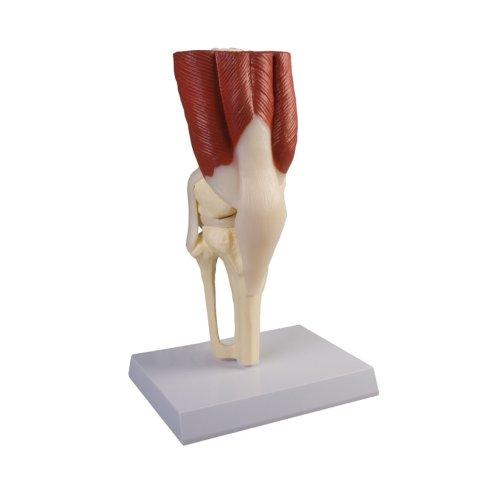 Kniegelenk-Modell mit Muskulatur, natürliche Größe
