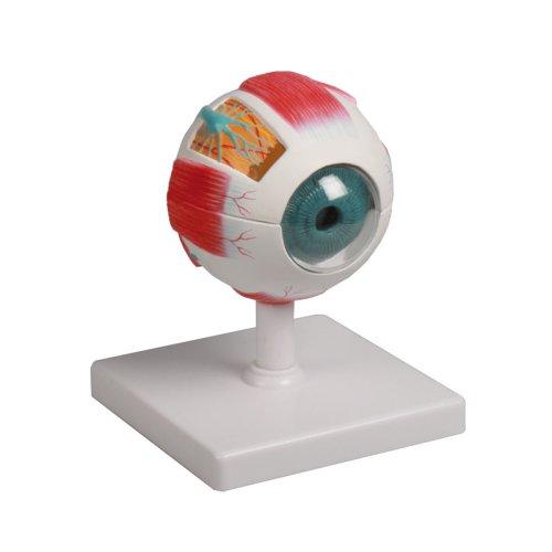 Eye model, 4 times life-size, 6 parts