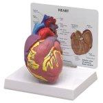 Herz-Modell