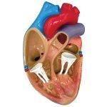 3-Mini-Herz-Modell-Set
