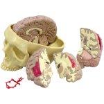 Gehirn-Modell