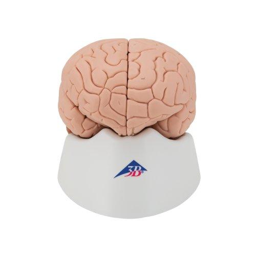 Gehirn-Modell, 4-tlg - 3B Smart Anatomy