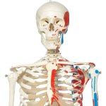 """Skelett-Modell """"Max"""" mit Muskelbemahlung, hängend - 3B Smart Anatomy"""