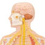 Nervensystem-Modell, 1/2 Größe - 3B Smart Anatomy