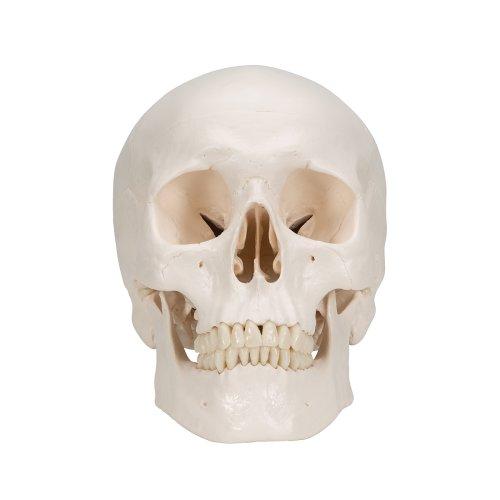 Schädel-Modell mit Gehirn, 8-tlg - 3B Smart Anatomy