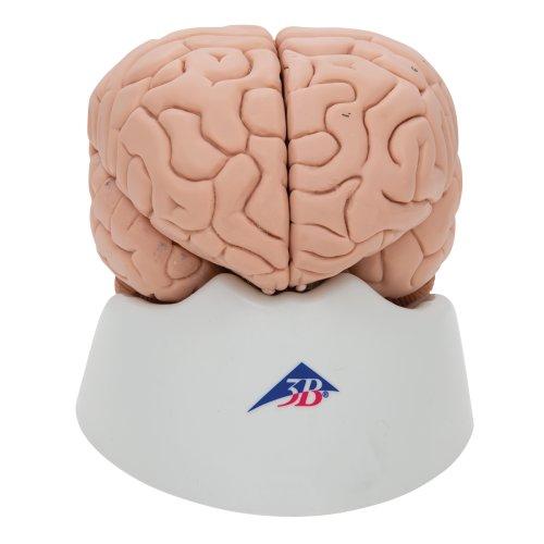 Brain Model, 8 part - 3B Smart Anatomy