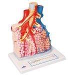 Pulmonary Lobule with Surrounding Blood Vessels Model, 130x magnified - 3B Smart Anatomy