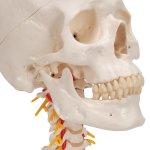Skull Model on Cervical Spine, 4 part - 3B Smart Anatomy
