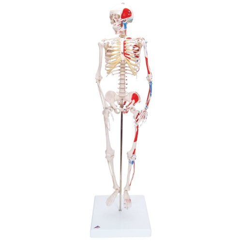 Mini Skelett-Modell Shorty mit Muskelbemalung - 3B Smart Anatomy