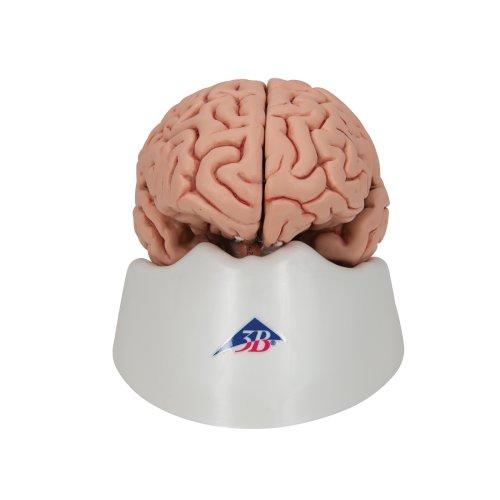 Gehirn-Modell, 5-tlg - 3B Smart Anatomy