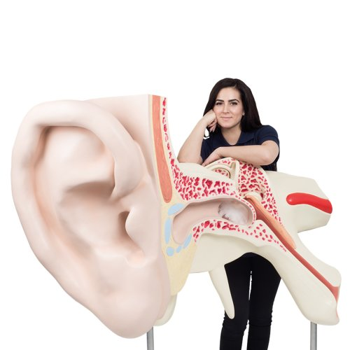 Ear Model, 15x magnified, 3 part - 3B Smart Anatomy