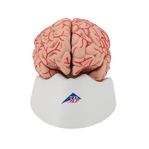 Brain Model with Arteries, 9 part - 3B Smart Anatomy