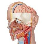 Torso Model, Unisex with Open Back, 21 part - 3B Smart Anatomy