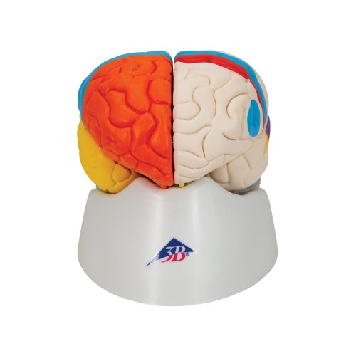 Gehirn-Modell funktional, 8-tlg - 3B Smart Anatomy