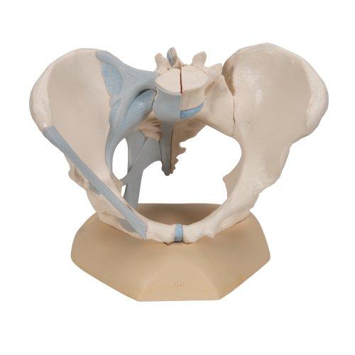 Becken-Modell, weiblich mit Bändern, 3-tlg - 3B Smart Anatomy