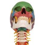 Schädel-Modell auf Halswirbelsäule, didaktisch, 4-tlg - 3B Smart Anatomy