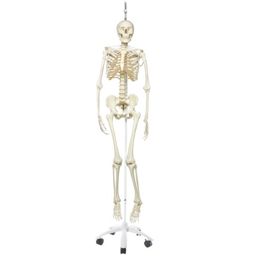 Skeleton Model Frank, Functional & Physiological on Hanging Stand - 3B Smart Anatomy
