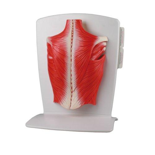 Rückenmuskulatur-Modell, 4-tlg