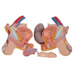 Muskel-Torso-Modell zweigeschlechtig, 31-tlg - 3B Smart Anatomy