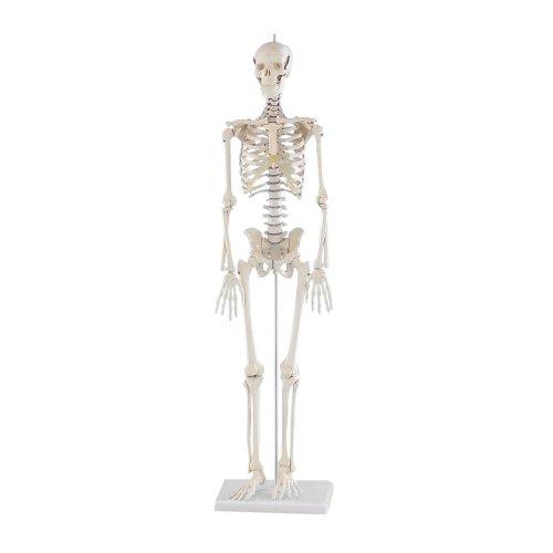 "Miniature skeleton model ""Patrick"""