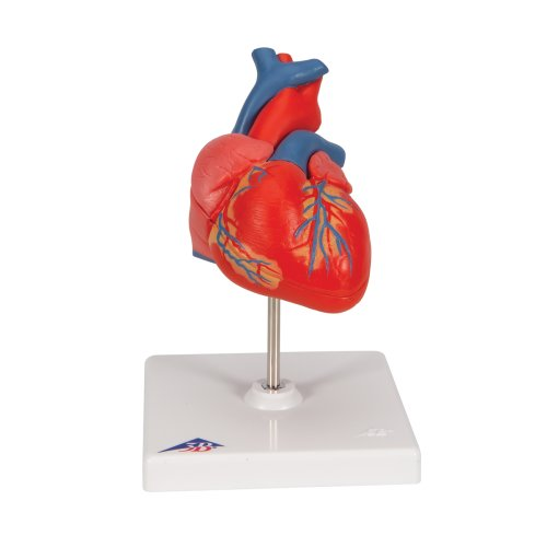Heart Model, 2 part - 3B Smart Anatomy