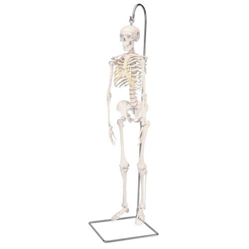Mini Skeleton Model Shorty, 1/2 Size on Hanging Stand - 3B Smart Anatomy