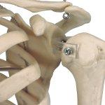 "Mini Skelett-Modell ""Shorty"", hängend - 3B Smart Anatomy"