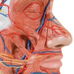 Half Head Model with Neck, Muscles, Blodd Vessels & Nerve Branches - 3B Smart Anatomy